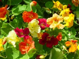 Heirloom Dwarf Jewel Nasturtium